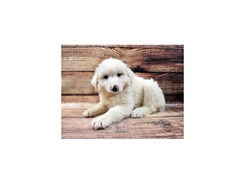 Great Pyrenees-Female-White-2938722-Petland Las Vegas, NV