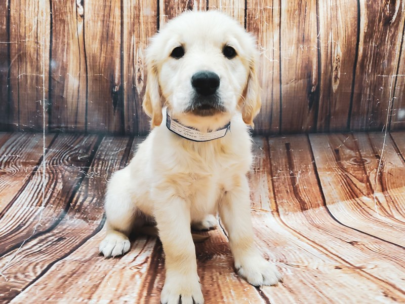 Golden Retriever-Male-Golden-2944621-Petland Las Vegas, NV
