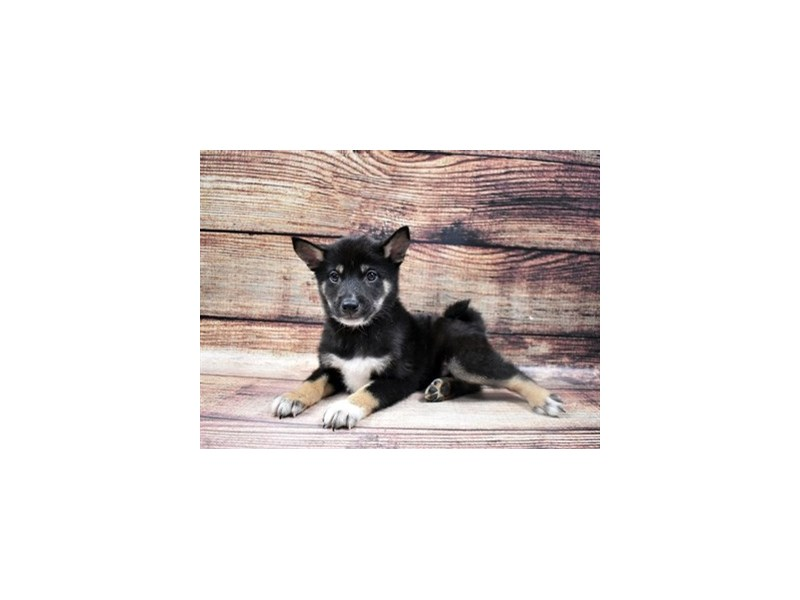 Shiba Inu-Male-Black and Tan-2932863-Petland Las Vegas, NV