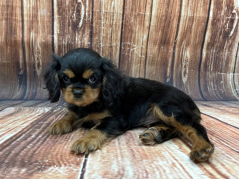 Cavalier King Charles Spaniel-DOG-Female-Black / Tan-2934131-Petland Las Vegas, NV