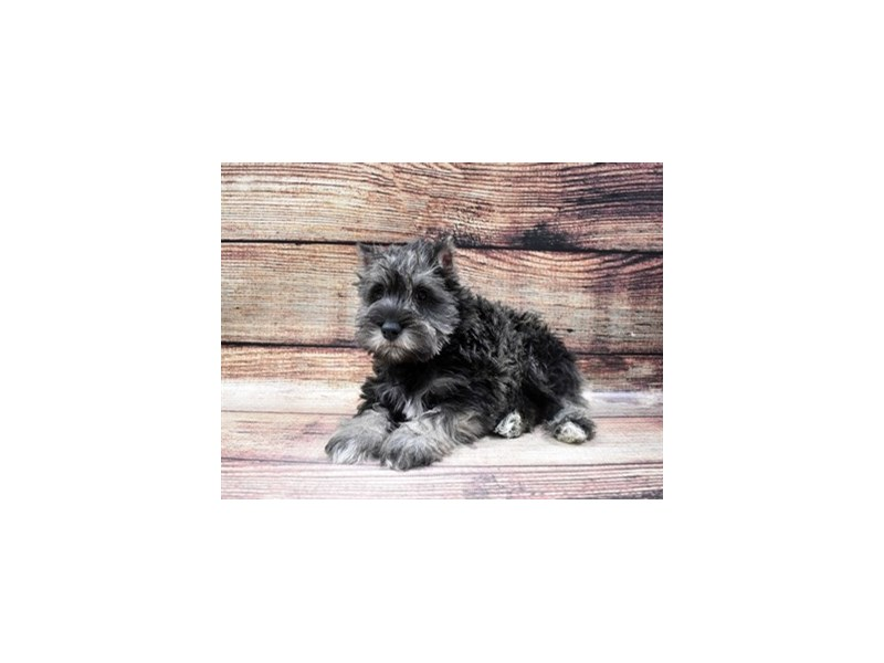 Miniature Schnauzer-Male-Black and Silver-2938716-Petland Las Vegas, NV