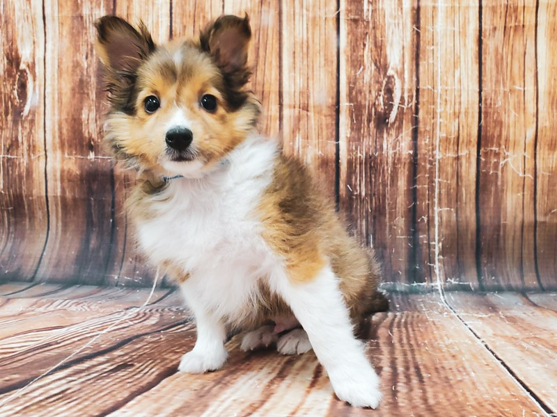 Shetland Sheepdog-Male-Sable / White-2939638-Petland Las Vegas, NV