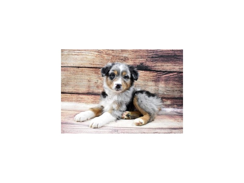 Australian Shepherd-Male-Blue Merle White and Tan-2957357-Petland Las Vegas, NV