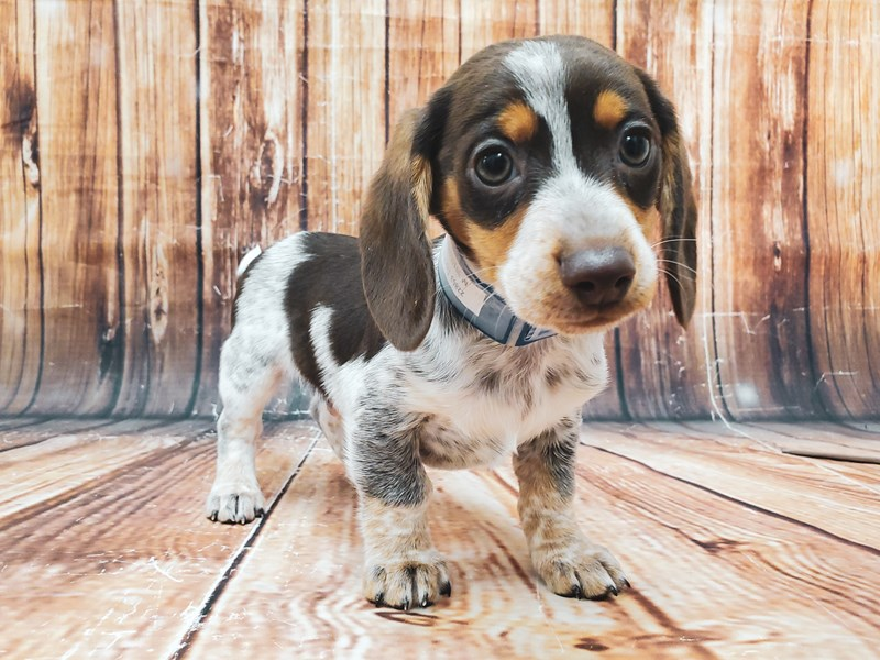 Dachshund-Male-Chocolate / Tan-2955918-Petland Las Vegas, NV