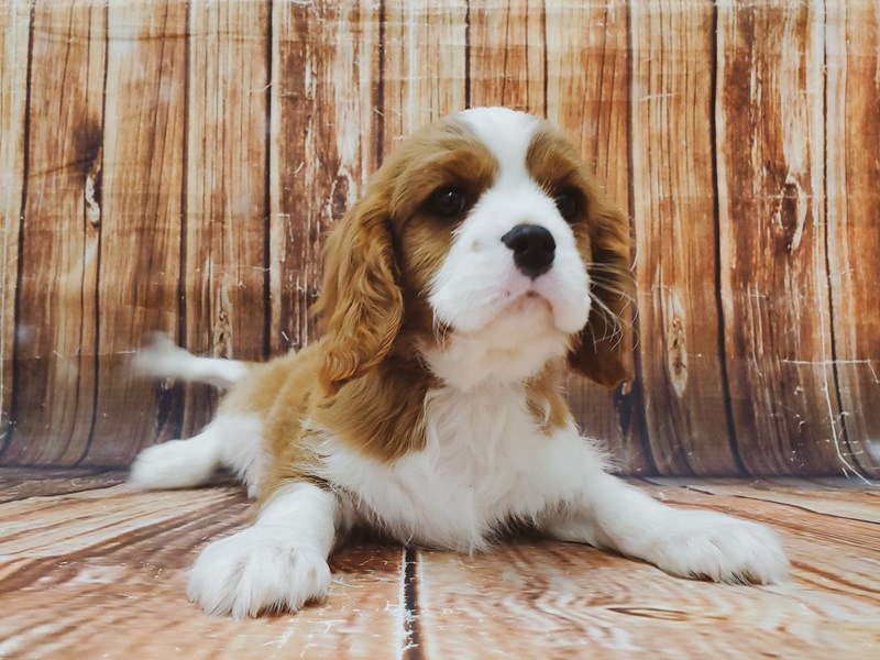 Cavalier King Charles Spaniel-DOG-Male-Blenheim / White-2955914-Petland Las Vegas, NV