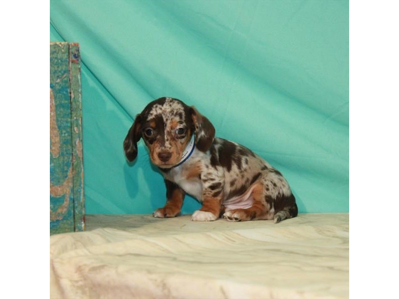 Dachshund-Male-Chocolate / Tan-2964368-Petland Las Vegas, NV
