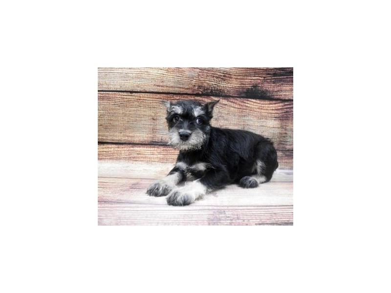 Miniature Schnauzer-Male-Black and Silver-2965010-Petland Las Vegas, NV