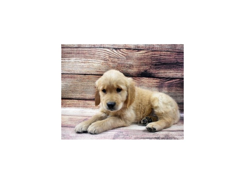 Golden Retriever-Male-Golden-2965094-Petland Las Vegas, NV