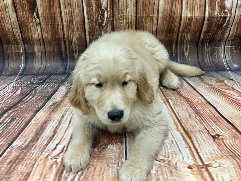 Golden Retriever-Male-Golden-2968728-Petland Las Vegas, NV