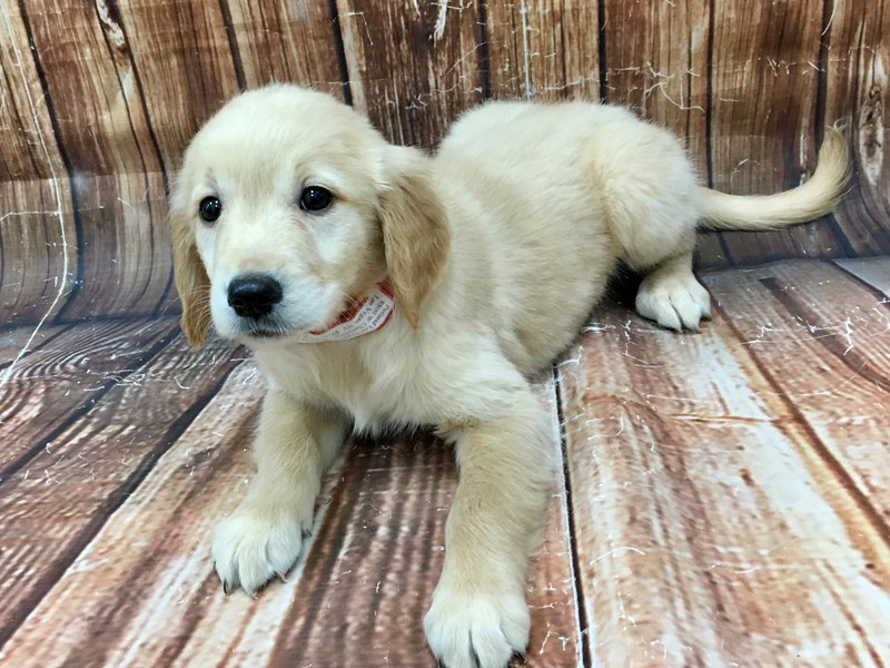 Golden Retriever-Female-Lt Golden-2968722-Petland Las Vegas, NV