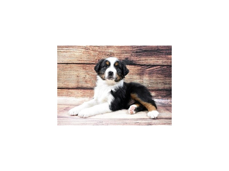 Australian Shepherd-Male-Black and White-2957360-Petland Las Vegas, NV