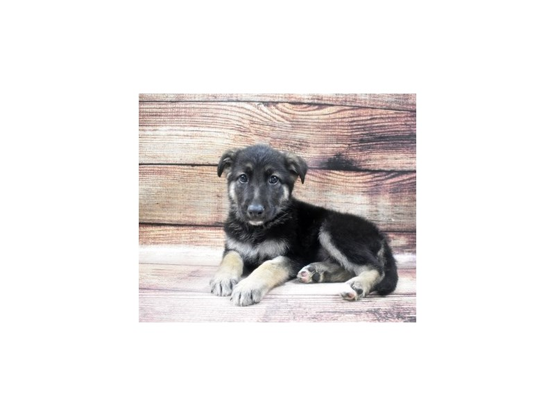 German Shepherd-Male-Black and Tan-2965071-Petland Las Vegas, NV