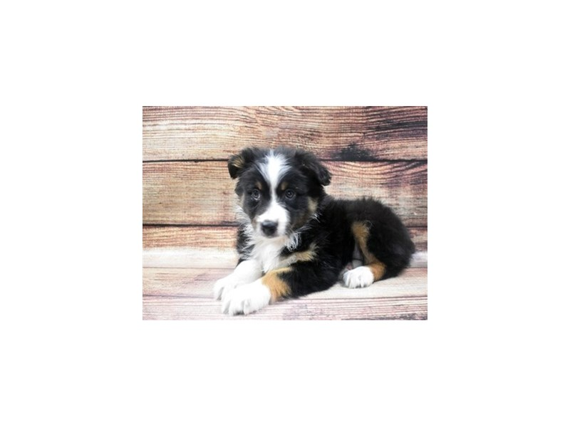 Australian Shepherd-Female-Black and White-2965077-Petland Las Vegas, NV