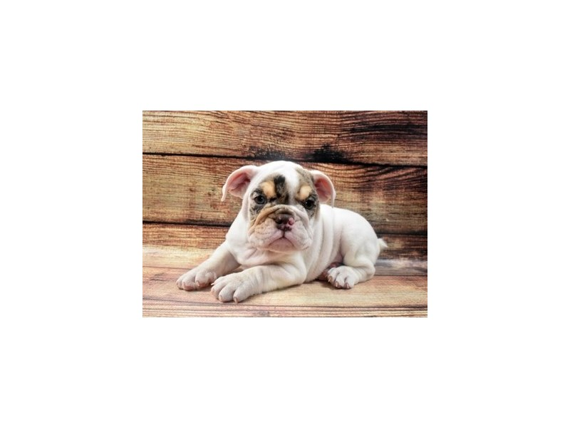 English Bulldog-Male-Red and White-2973056-Petland Las Vegas, NV