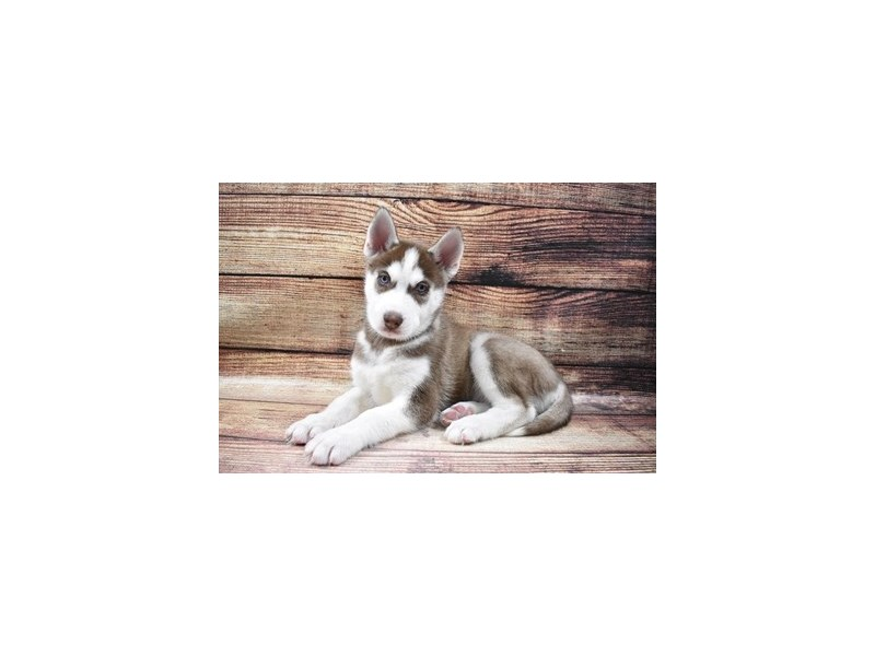 Siberian Husky-Male-Red and White-2989557-Petland Las Vegas, NV