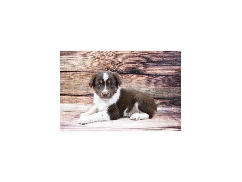 Australian Shepherd-Male-Red-2989596-Petland Las Vegas, NV