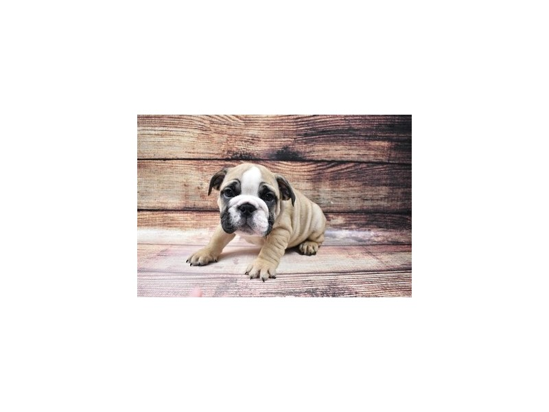 English Bulldog-Male-Fawn and White-3005885-Petland Las Vegas, NV