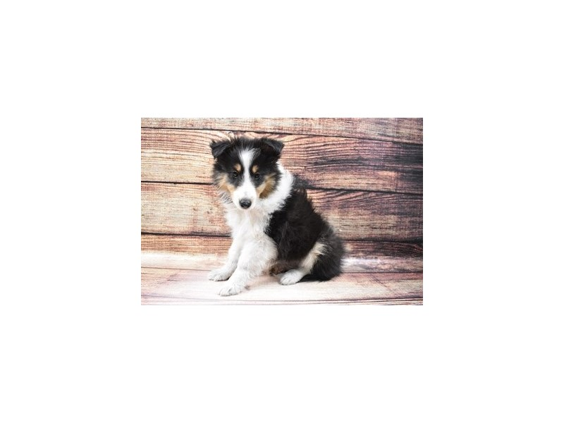 Shetland Sheepdog-Female-Black White and Tan-3026976-Petland Las Vegas, NV