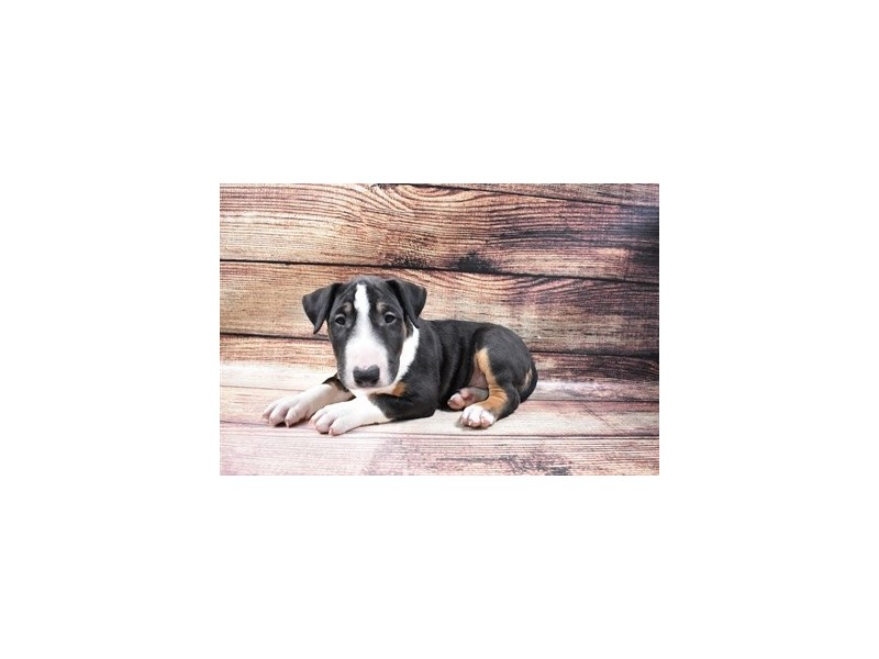 Bull Terrier-Male-Black Tan and White-2998107-Petland Las Vegas, NV